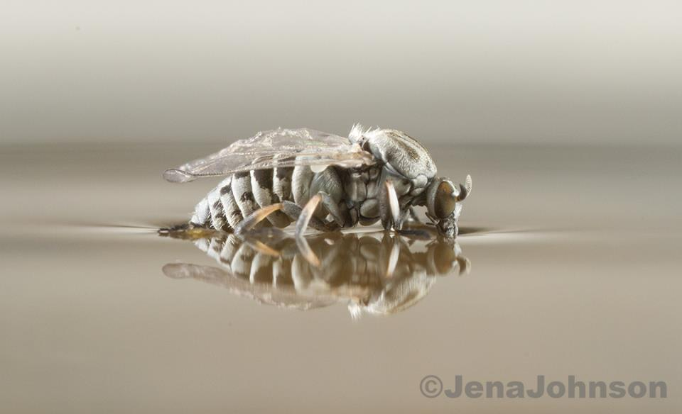 Black Fly larva waterSurface_grayTone_1728_small